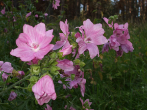 Greater Musk-Mallow?, Grantown on Spey