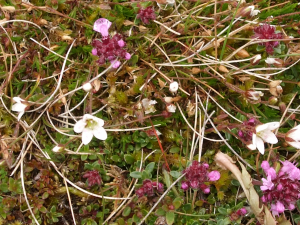 Mossy Saxifrage? Cow Green Reservoir, Upper Teesdale
