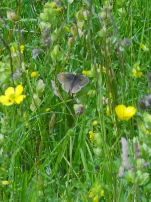 Butterfly in Draycote Meadows