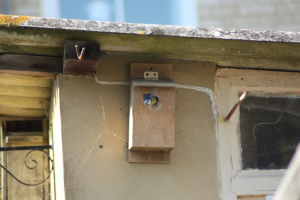 Blue tit in nest box