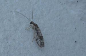is this a lacewing?