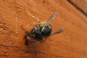 Common Wasp eating an Earwig