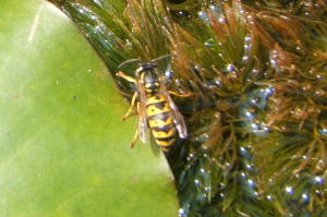 Wasp taking in water