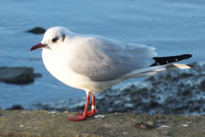 Winter Black-headed Gulls