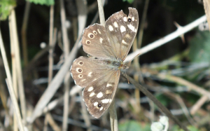 Speckle Wood
