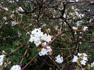 scented flowering shrub