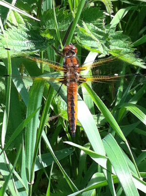 Young female Scarce Chaser?