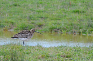 Curlew with a dark face?