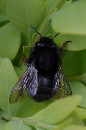 All black bee - ruderal bee?