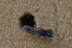 Ectemnius Wasp sp.