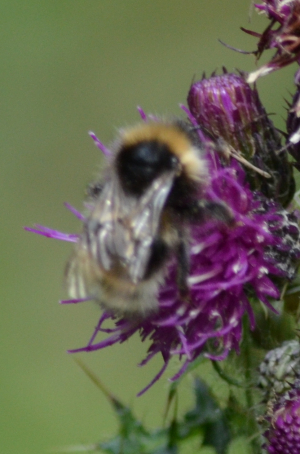 Wool carder bee?