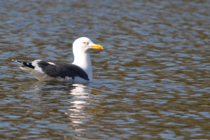 Greater Black Backed Gull?