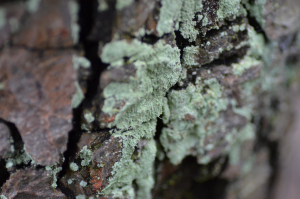 Powdery green fungi/lichen
