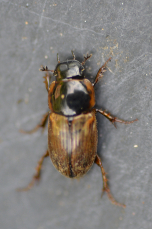 Water Beetle - Clubbed Antennae