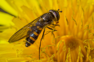 Hoverfly for ID Please