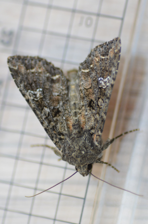 Common Marbled Carpet Moth?