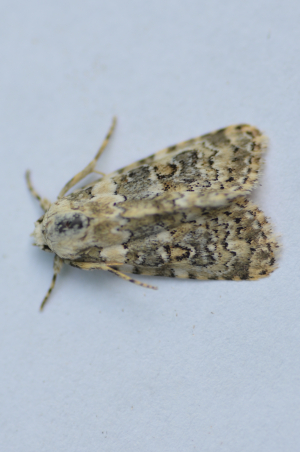Distinctive micro moth