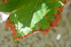 Damage to grape leaves