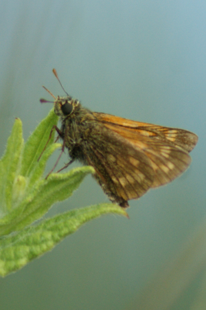 Skipper species.