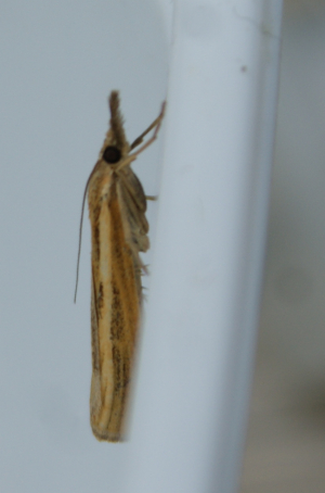 Large grass moth