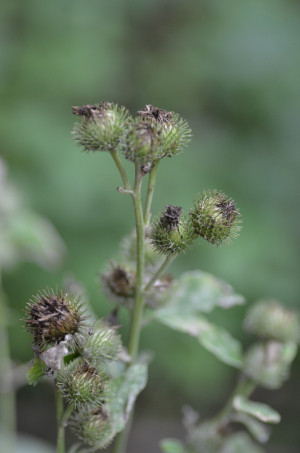 Greater Burdock?