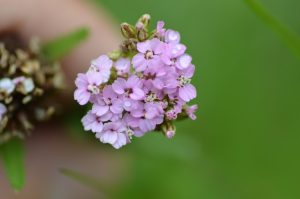 Pink variant of yarrow?