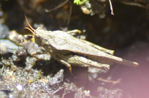 Slender groundhopper?