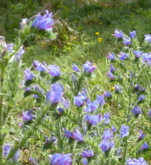 Vipers-bugloss ?