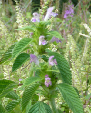 Common Hemp-nettle