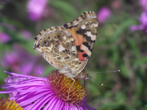 Painted Lady ( Vanessa cardui )
