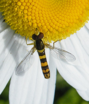 Hoverfly sp 4