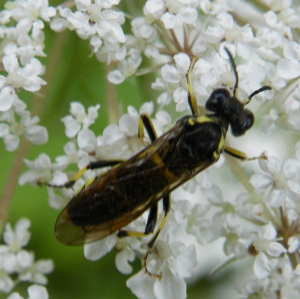 Sawfly? on wild carrot