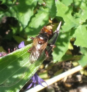 white faced fly
