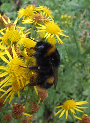 Huge bumble bee on ragwort