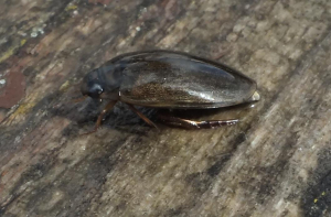 Unknown water beetle