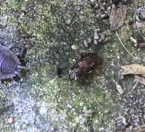 brown beetle with white spots