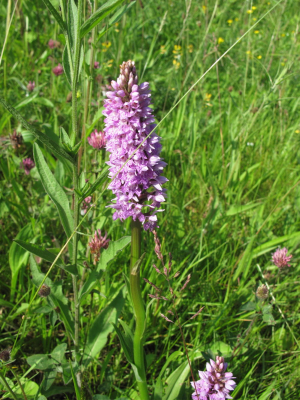 possible common spotted orchid