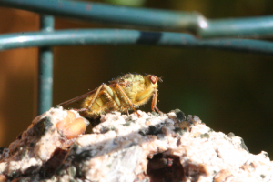 Yellow Dung-fly