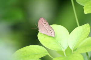 Dark-brand Bush Brown butterfly: Singapore