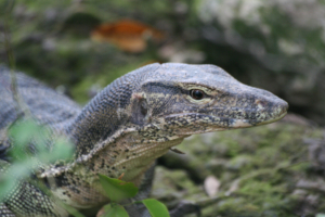 SE Asian water monitor, Singapore