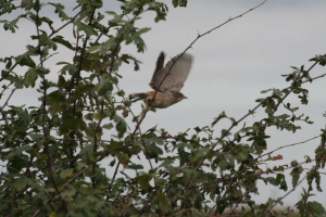 Whitethroat taking off