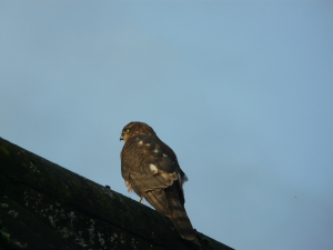2011 11 30th Sparrowhawk?