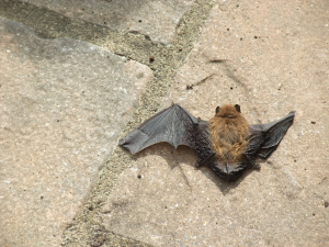 Small brown bat in garden