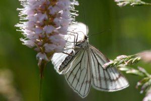 Moth which mimics black veined white