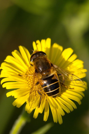 A hoverfly (Eristalis)