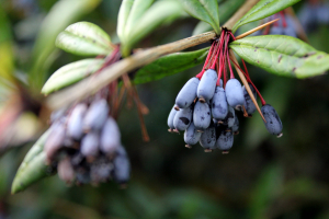 Shrub - fruits/berries