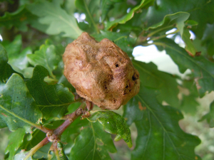 Large Brown Gall