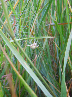 Small Green Spider Among Grass