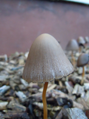 Brown Bell Shaped Mushrooms in Wood Chips