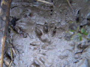 Water Vole Vs Brown Rat Track Signs?
